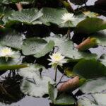 朧ヶ池に咲くスイレン、船江上社(伊勢市船江)