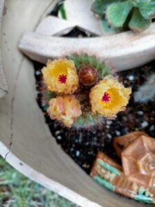 自宅の庭に咲く サボテンの花