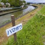 切り株になっていたハマボウ(勢田川下流 右岸)